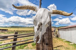 Cow skull on fence post